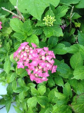The Trophy That Are MyHydrangeas