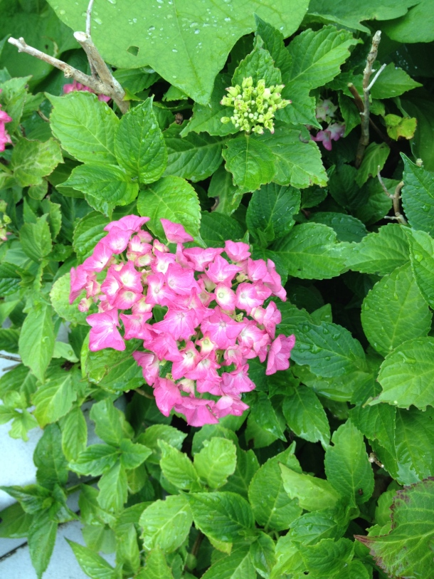 The hydrangeas on the other side are doing much better. Less direct sunlight.